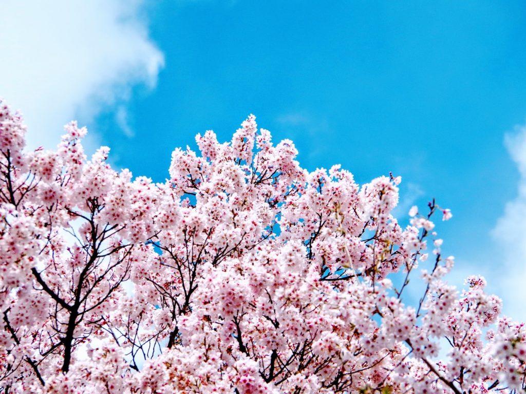 Hanami - Sakura