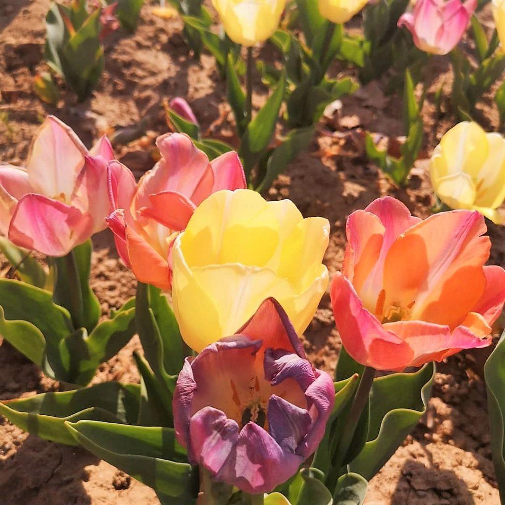 Tulipani - festa di colori